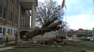 Trunk of the Atlas Cedar crashes to the ground at the Limestone County Courthouse Saturday afternoon. (Photo: Al Whitaker)