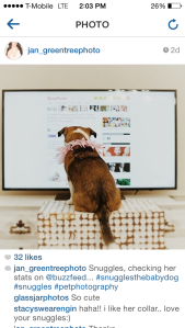 Jan Renegar often posts photos and videos of Snuggles to her Instagram account @jan_greentreephoto with the hashtag #snugglesthebabydog. Here, Snuggles scoped out her Buzzfeed stats. (Photo: @jan_greentreephoto)