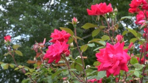 Knock Out Roses are usually a foolproof planting option that blooms all season and requires little maintenance or disease control. (PHOTO: David Wood, WHNT)