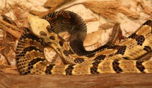 Timber/Canebrake Rattlesnake