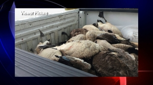 Geese lay dead in the back of a Russellville city vehicle after being shot at Sloss Lake Wednesday. (Viewer Picture)
