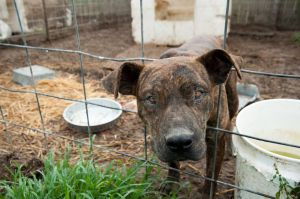 One of the dogs seized from the Lawrence County Animal Shelter (Photo: ASPCA)