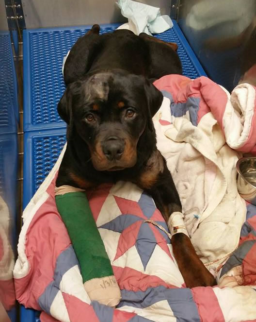 Millie is recovering well from her injuries, according to Huntsville Animal Services Director Karen Hill Sheppard. (Photo: Facebook)