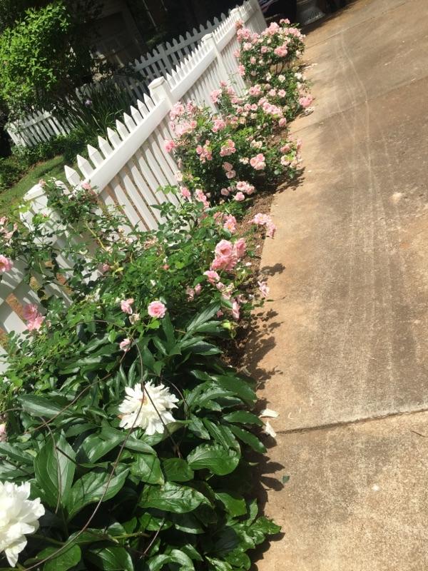 Huntsville Roses