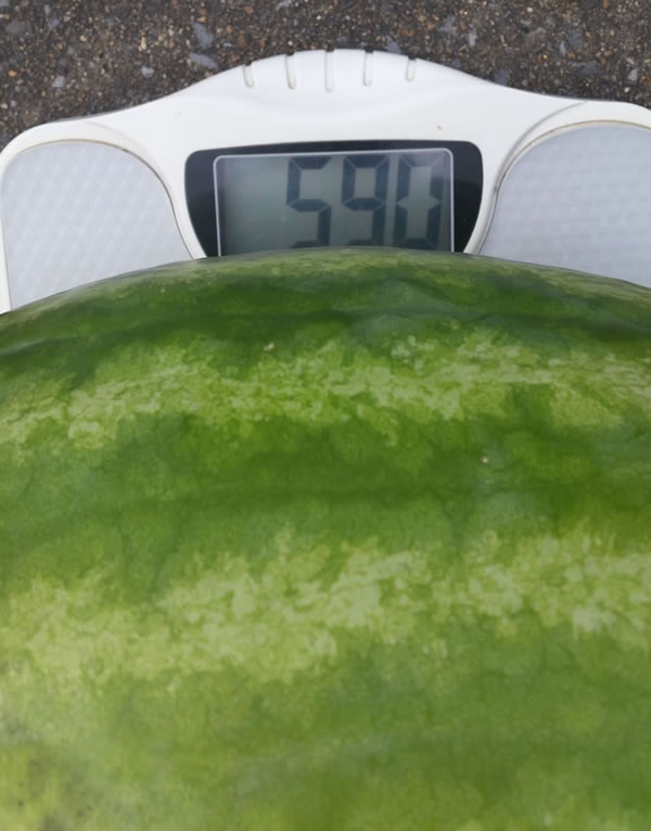 """The """"Truck Buster"""" watermelon tipped the scale at 59 pounds! (Photo: James Barrentine)"""