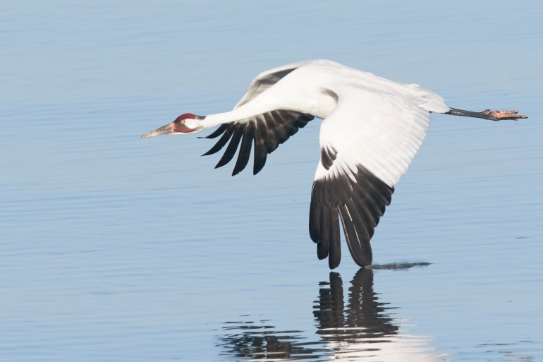 A whooping crane flying over water