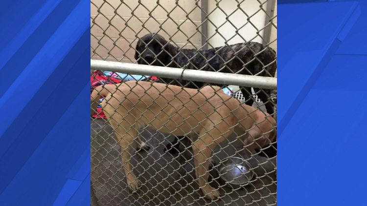 The young English mastiffs that killed a 5-year-old boy in Clarksville Thursday have been placed in the custody of Montgomery County Animal Control
