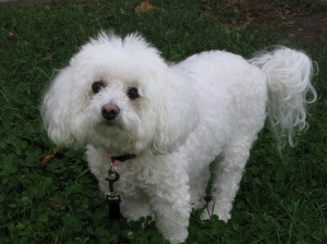Police say a Bichon Frise, like the one pictured here, died after being slammed to the floor during a domestic disturbance