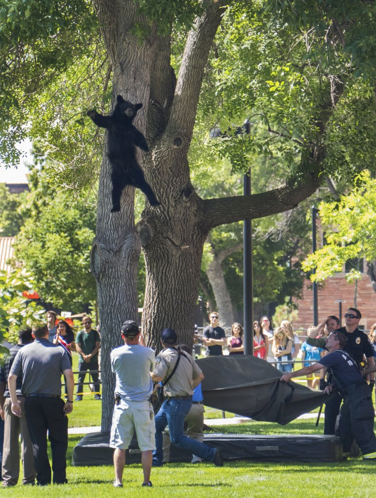 A bear that wandered on to the campus of  University of Colorado, Boulder falls from a tree after being tranquilized by park officials. The bear was recovered and released back into the woods.