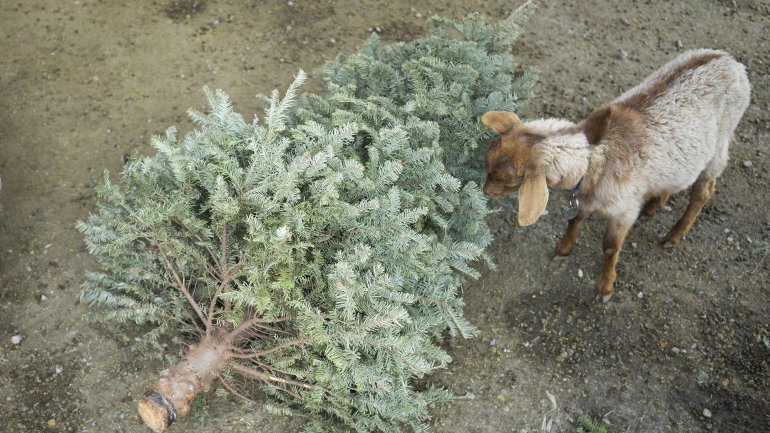 For the second year, City Grazing is inviting residents to feed their old Christmas trees to goats. It's an environmental alternative to leaving trees on the curb or burning them.
