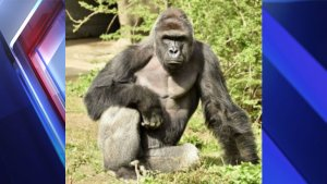 The Cincinnati Zoo shot and killed a western lowland gorilla on Saturday (May 28, 2016) after a 4-year-old boy slipped into the animal's enclosure. (File photo of Harambe, the gorilla killed)