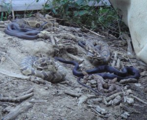 Photo of 8 snakes near Tony Moore's property. Picture courtesy of Pauline Caldwell via Tony Moore.