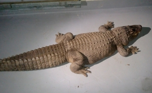 An 8-foot-long alligator was discovered inside a wooden crate at a Van Nuys on Jan. 12, 2015. (Credit: Los Angeles Department of Animal Services)