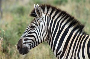 Zebra, Source: Flickr by flowcomm