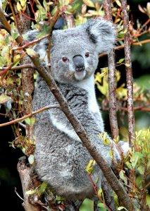Koala killed at zoo