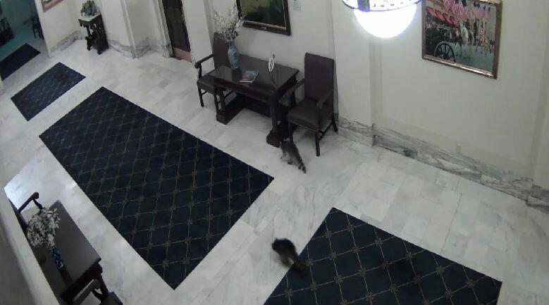 Raccoons run through the Capitol hallways