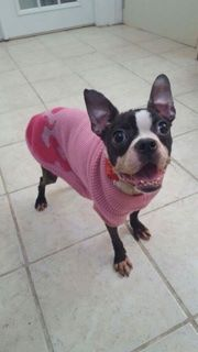 Twinkle the Boston Terrier. Pic courtesy Midwest City Animal Welfare