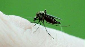 filephoto Mosquito West Nile Virus