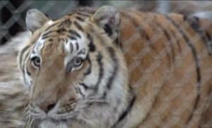 tiger-pic