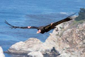 APphoto_Endangered Condors DDT