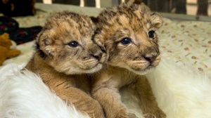 san diego zoo lion newborns la time link off one tim euse