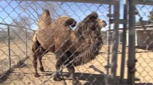 loose-camel