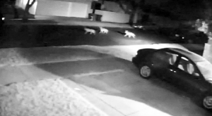 A surveillance video image shows coyotes in front a Burbank man's home in late July 2014.