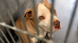One of the pit bulls seized by authorities was being kept in an Los Angeles County animal shelter in Lancaster. The dog was one of eight owned by Alex Donald Jackson, four of which mauled a woman to death on May 9, 2013. (Credit: Irfan Khan / Los Angeles Times)