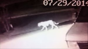 This still is from surveillance video showing a mystery animal in Norwalk on July 29, 2014.