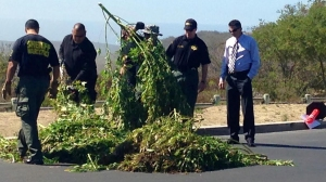 Orange County Sheriff's Department narcotics investigators worked to eradicate thousands of marijuana plants from the Laguna Wilderness Park on Aug. 15, 2014. (Credit: KTLA)
