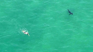 A swimmer could be seen not far from a possible shark off Manhattan Beach on Aug. 14, 2014. (Credit: KTLA)