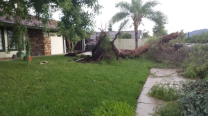 A resident provided this photo of a tree toppled by the storm in Lake Elsinore on Sept. 16, 2014.