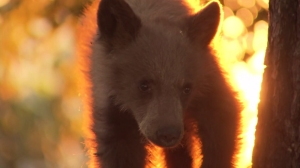 File photo of a black bear cub. (Credit: KTLA)