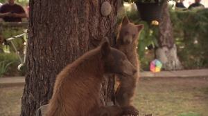 A female bear and her cub were uneasy about leaving a Monrovia neighborhood they wandered into due to a crown of spectators, authorities said on Sept. 10, 2014. (Credit: KTLA)