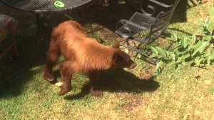 A bear was spotted in a backyard in Monrovia on Wednesday, Sept. 10, 2014. (Credit: Jon Gonzalez)