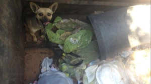 The Riverside County Department of Animal Services provided this photo of a Chihuahua that was found in a dumpster on Sept. 13, 2014. Officials were looking for the owner.