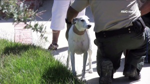 A dog that was bitten by a cobra in Thousand Oaks was expected to be OK. (Credit: RMG News HD)