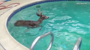 A deer went for a swim in a residential pool in Encino on Saturday, Sept. 27, 2014. (Credit: RMG News)