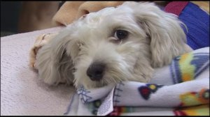 Gordo was recovering at a Culver City animal hospital on Sept. 18, 2014, one day after he was hit by a van during a pursuit. (Credit: KTLA)