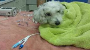 Gordo was injured after being hit by a van during a pursuit in South L.A., but he was expected to be OK. (Credit: Santos Son)
