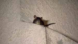 A rat can be seen atop a home in Westchester on Sept. 17, 2014. (Credit: KTLA)