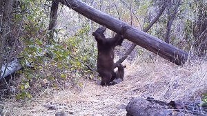 The trail cameras in Big Dalton Canyon above Glendora have captured a variety of wildlife, including a mama bear and cub shown here in still from video posted Aug. 17, 2014. (Credit: Robert Martinez)
