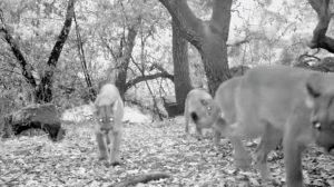 Three of four mountain lions caught on camera Oct. 17, 2014, in Big Dalton Canyon above Glendora are shown in a video still. (Credit: Robert Martinez)