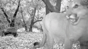 One of four mountain lions caught on camera Oct. 17, 2014, in Big Dalton Canyon above Glendora is shown in a video still. (Credit: Robert Martinez)