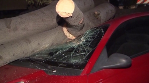 A tree fell on a car in Canoga Park on Nov. 16, 2014, as high winds caused a Red Flag Warning in much of L.A. and Ventura Counties. (Credit: KTLA)