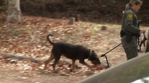 An OCSD dog searches for James Kretzschmar, an Irvine man believed to have gone for a mountain bike ride in the San Juan Capistrano area, on Nov. 13, 2014. (Credit: KTLA)