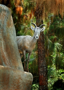 One of the Los Angeles Zoo's other female bighorn sheep is shown in this photo. (Credit: Tad Motoyama via L.A. Zoo)