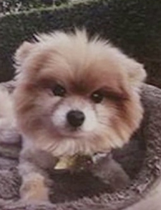 Penny's owner provided this photo after the Pomeranian went missing on Nov. 21, 2014.