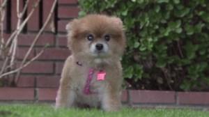 A Pomeranian allegedly stolen during a Culver City home burglary was returned to its owner Nov. 29, 2014. (Credit: KTLA)