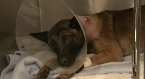 A K-9 named Reiko was covering on Monday, Nov. 24, 2014, after being shot by a gunman in West Covina, police said. Officers shot and killed the suspect, officials said. (Credit: KTLA)